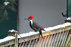 Pileated Woodpecker (karma (Karen)) Tags: baltimore maryland home backyard birds pileatedwoodpecker fences snow topf25