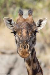 Masai Giraffe (Giraffa camelopardalis tippelskirchi) (BenParkhurst) Tags: africa pattern serengeti mammal benparkhurst serengetinationalpark eventoedungulate holiday animal giraffacamelopardalis wild wildlife kilimanjarogiraffe giraffacamelopardalistippelskirchi masaigiraffe ruminant tanzania fauna 2017 ungulate safari
