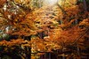 長谷寺 (勇 YoungAdventure) Tags: japan japon nippon 日本 일본 紅葉 autumn foliage nikkor50mmf2 nikkorhauto50mmf2 長谷寺 buddhist temple nara 奈良 kansai 関西 hasedera mt