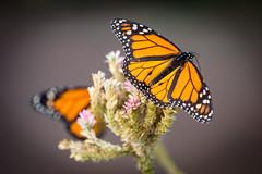 2017-12-17-12h03m11.BL7R5910 (A.J. Haverkamp) Tags: canonef100400mmf4556lisiiusmlens monarchbutterfly amsterdam noordholland netherlands zoo dierentuin httpwwwartisnl artis thenetherlands vlinderpaviljoen vlinder butterfly monarchvlinder danausplexippus nl