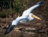 DSC_5326-Edit (craigchaddock) Tags: americanwhitepelican pelecanus pelecanuserythrorhynchos pelican santeelakes birdsinflight bif