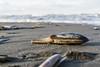 Gestrandet (Richter.V) Tags: muschel strand meer noordwijk nordsee wasser