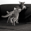 Motion Kittens 40 (peter_hasselbom) Tags: cat cats kitten kittens abyssinian 10weeksold play game fight hunt playfight playing naturallight motionblur motion bw blackandwhite 2cats 2kittens twocats