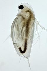 Daphnia (mr.sansibar) Tags: crustacea zooplankton plankton planapo focusstacking olympusbh2 photomicrography microscopy polarizedlight water flea cladocera daphnia