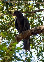 Another (LeftCoastKenny) Tags: madagascar day11 trees bird zombitsevohibasianationalpark