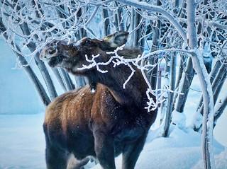 Merry Chrismoose . . (Explored)
