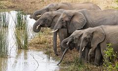Muli-Trunk Drinking (AnyMotion) Tags: africanelephant afrikanischerelefant loxodontaafricana elephants elefanten family familie drinking trinkend 2006 anymotion tarangireriver tarangirenationalpark tanzania tansania africa afrika travel reisen animal animals tiere nature natur wildlife 20d canoneos20d ngc npc