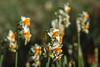 Narcissus (shinichiro*@OSAKA) Tags: 20171223sdq2816 2017 crazyshin sigmasdquattro sdq sigma24105mmf4dgoshsm december winter tokyo japan 葛西臨海公園 日本水仙 narcissus 39321544251 2214972 201801gettyuploadesp
