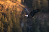 Golden Light Flight (Sirfishalot) Tags: 20018 birds canon1dx eagle nature skagitriver