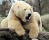 polarbear Blijdorp BB2A0330 (j.a.kok) Tags: beer ijsbeer bear polarbear ursusmaritimus blijdorp animal mammal zoogdier dier arctic pool noordpool todz sizzl