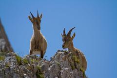 Giovani fratelli. Young Ibex brothers. (omar.flumignan) Tags: ibex stambecco young giovane montasio forcadeidistesis fvg friuliveneziagiulia mount canon 7d ef100400f4556lisusm
