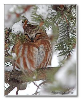 IMG_0004-2-DL   Petite nyctale / Northern Saw-Whet Owl.