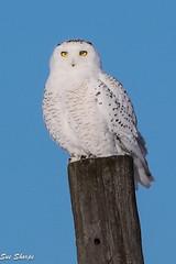 Snowy Owl (Sue D Sharpe) Tags: snowyowl owl perched post sunshine kawarthalakes ontario