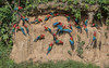 Red-and-Green Macaws (tickspics ) Tags: amazonbasin arachloropterus blanquilloclaylick macaws manú manúbiospherereserve manúnationalpark neotropicalparrots peru psittacidae redandgreenmacaw ríomadrededios southamerica tropicalrainforest