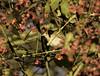 Garden Warbler (Nobby1968) Tags: upton warren wildlife nature birds worcestershire wwt