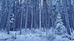 The woods are lovely, dark and deep, (altamons) Tags: altamons xcountry winterland snow ski rockies winter skiing rockymountains canadianrockies kcountry kananaskiscountry kananaskis cold canadian canada alberta nordiccentre canmore canmorenordiccentre