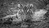 Rakan (ToddLahman) Tags: rakan sumatrantiger tiger tigers tigertrail tigercub canon7dmkii canon canon100400 closeup beautiful mammal male portrait photooftheday blackandwhite sandiegozoosafaripark safaripark
