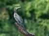 Neotropic Cormorant (Tris Enticknap) Tags: southamerica cochasalvador manú peru nikond750 neotropiccormorant nikkor300mmf4epfedvrlens manúbiospherereserve manúnationalpark oxbowlake phalacrocoraxbrasilianus tropicalrainforest amazonbasin