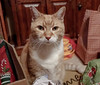 Cats spread Christmas Cheer 12-24-17 04[Crop] (anothertom) Tags: cats ziggycat christmaseve holidays livingroom gifts funnycat badattitude funnyface grumpycat catface eyes stare 2017 sonyrx100v badmood
