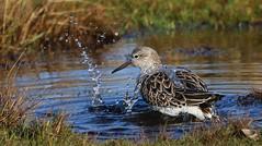 Ruff 070118 (18) (Richard Collier - Wildlife and Travel Photography) Tags: wildlife naturalhistory birds british rspblodmoor ruff waders dorsetbirds dorset dorsetwildlife ngc