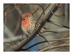 Waiting For Spring! (jiroseM43) Tags: finch malehousefinch housefinch olympus nature em1markii 75300mm