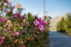 Dreams of summer... (Мaistora) Tags: flowers flower bush shrub tree plant pink purple tropical mediterranean green road closeup focus defocus light sunlight sunshine blue yellow colour colourful sunny summer warm hot bokeh landscape scape island greek aegean limnos lemnos sony alpha ilce a6000 zeiss 24mm sel24f18za dxo optics lightroom luminar explore explored07jan18