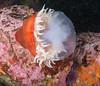 ML061683.jpg (alwayslaurenj) Tags: anenome eating jellyfish montereycarmel pointlobos