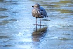 Walking on water (_3210503) ([Rossco]:[www.rgstrachan.com]) Tags: 2017 bigma britishcolumbia canada hogmanay lostlagoon nature newyearseve sigma50500 stanleypark vandusen wildlife