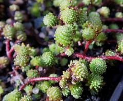 Sedum gracile (Nessy apprentie en rangement) Tags: sedum crassulaceae succulent