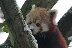 Little Red Panda (K.Verhulst) Tags: panda rodepanda beren bears bear beer snow blijdorp blijdorpzoo diergaardeblijdorp rotterdam coth5