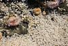Baby Mole Crabs 3 (joncox84) Tags: tidepool anemone mole crab sand oregon ecola cannon beach coast