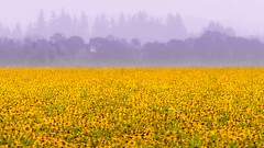 Field of Black Eyed Susans (jim.choate59) Tags: fog smoke field flowers blackeyedsusans jchoate yellow rural landscape trees pinetrees soft b700 coolpix oregon mtangeloregon willamettevalley on1pics