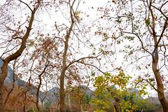 Chinese Tallowtrees 烏桕 (MelindaChan ^..^) Tags: chinese tallow 烏桕 triadicasebifera guilin china 桂林 lijiang plant 烏桕灘 漓江chanmelmel mel melinda melindachan autumn leaf leaves branch tallowtrees fall tree chanmelmel curtain brach