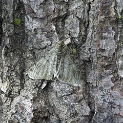 Pale Brindled Beauty Phigalia pilosaria (Clive E Jones) Tags: maeshafn moths denbighshire north wales mothtrapping pale brindled beauty phigalia pilosaria