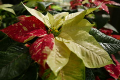advance christmas greetings (DOLCEVITALUX) Tags: poinsettia flower flowers flora fauna lumixlx100 panasoniclumixlx100 philippines