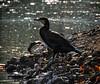 On The Rocks (MrBlueSky*) Tags: cormorant bird animal nature outdoor water wildlife kewgardens royalbotanicgardens london aficionados pentax pentaxart pentaxlife pentaxk1 pentaxawards pentaxflickraward