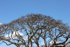 mauritius twigs (kexi) Tags: mauritius ilemaurice africa sky blue twigs tree canon october 2016 instantfave