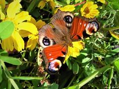 Butterfly 1538 (+1000000 views!) Tags: butterfly borboleta farfalla papillon mariposa schmetterling فراشة