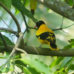 Black headed oriole (idanona (off)) Tags: blackheadedoriole schwarzkopfpirol oriolusxanthornus bird vogel karandeniya srilanka