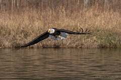 Low Flying Eagle (elliott845) Tags: eagle baldeagle bird nature wildlife pnw pacificnorthwest washington washingtonstate animal baldy raptor birdofprey birdinflight pugetsound