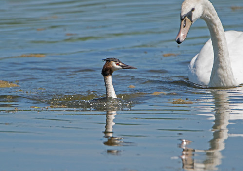 Grumpy young Mute Swan intimidating a Great Crested Grebe