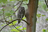 Tawny Owl (Strix Aluco) on Ashridge Estate (rtatn8) Tags: ashridge uk wildlife bird tawnyowl strixaluco ashridgeestate hertfordshire flikr