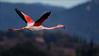 Flamant rose (azurnet) Tags: flamantrose sigma150600sports nikond4s marais lessalins oiseauxdesmarais hyères lesvieuxsalinshyères