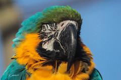 Blue-Yellow Macaw (K.Verhulst) Tags: blueyellowmacaw blueandyellowmacaw blauwgeleara macaw ara papegaai birds vogels vogel blijdorp diergaardeblijdorp rotterdam
