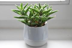 Kein Glanz Ohne Farbe (De Nicko) Tags: kaktuss weis grün modell white green farbe glanz