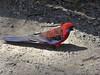 Crimson rosella (1) (margaretpaul) Tags: birds australianbirds crimsonrosella rosella