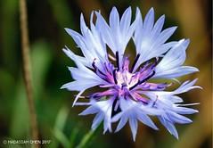 Centaurea cyanus (Asteraceae) (Wonder Kitsune) Tags: uk wildflower macro bachelor'sbutton blueflower centaureacyanus centaurea asteraceae