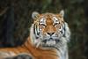 Panthera tigris altaica (judith.kuhn) Tags: animal tier säugetier mammal tiger panthera tigris altaica cat groskatze predator raubtier raubkatze zoo zürich switzerland schweiz reise travel natur nature