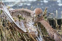 R18_8695 (ronald groenendijk) Tags: cronaldgroenendijk 2018 falcotinnunculus bird birds birdsofprey groenendijk kestrel nature natuur natuurfotografie netherlands outdoor ronaldgroenendijk roofvogels torenvalk vogel vogels