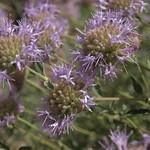 mountain mint, Monardella odoratissima subsp. glauca thumbnail
